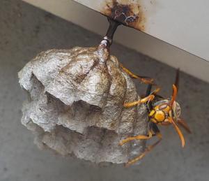 アシンガバチ巣